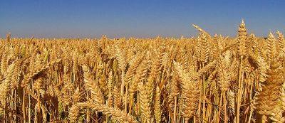 Ts 2974 Buğday Standardında Ekmeklik Buğdayların Protein Oranları